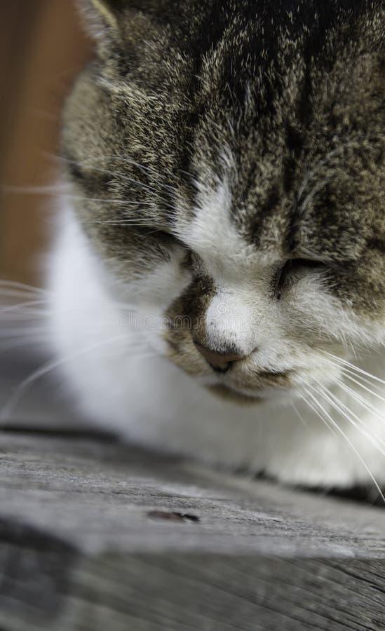 Νυσταλέα chubby γάτα γατών στοκ φωτογραφίες με δικαίωμα ελεύθερης χρήσης