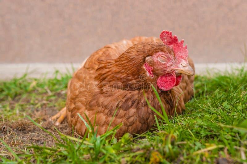 Νυσταλέο κοτόπουλο στοκ φωτογραφία με δικαίωμα ελεύθερης χρήσης