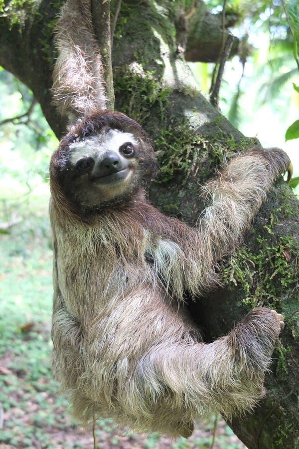 Νωθρότητα στην ένωση της Κόστα Ρίκα σε ένα δέντρο στοκ φωτογραφίες
