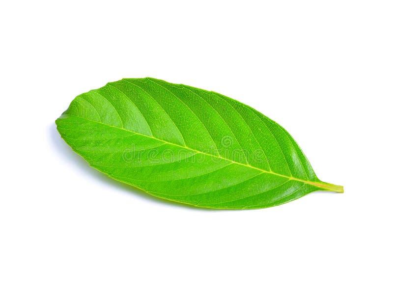 Νωπά πράσινα φύλλα απομονωμένα σε λευκό στοκ εικόνες με δικαίωμα ελεύθερης χρήσης
