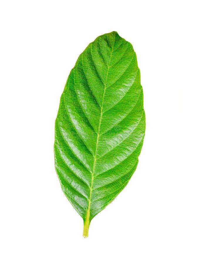 Νωπά πράσινα φύλλα απομονωμένα σε λευκό στοκ φωτογραφία με δικαίωμα ελεύθερης χρήσης