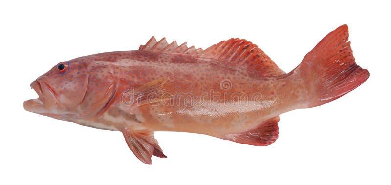 Νωπά νωπά ψάρια απομονωμένα σε λευκό φόντο στοκ φωτογραφία με δικαίωμα ελεύθερης χρήσης