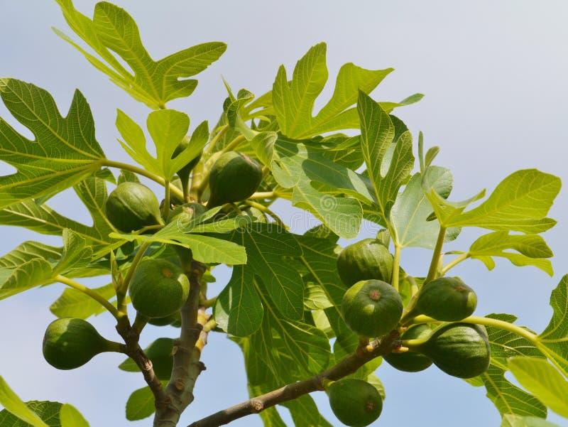 Νωποί καρποί σε ένα δέντρο στοκ φωτογραφία