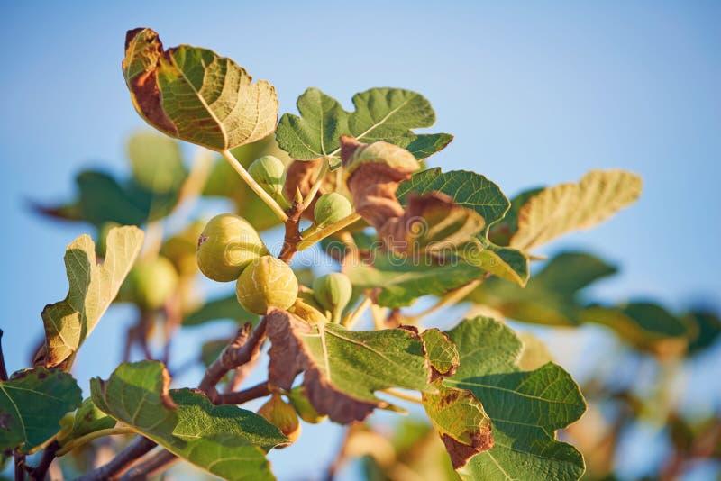 Νόστιμα σύκα στο δέντρο στοκ φωτογραφία με δικαίωμα ελεύθερης χρήσης