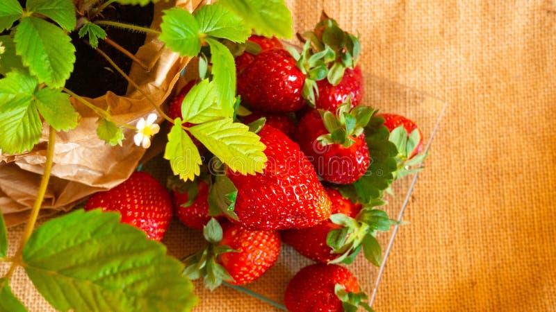 νόστιμες ώριμες φράουλες στις στάσεις γυαλιού στον αγροτικό πίνακα με sackcloth στοκ φωτογραφίες με δικαίωμα ελεύθερης χρήσης
