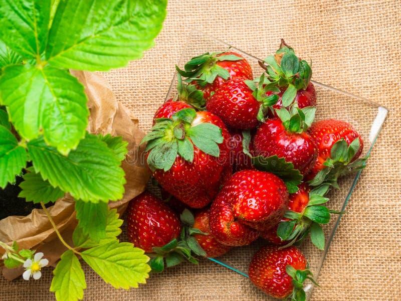 νόστιμες ώριμες φράουλες στις στάσεις γυαλιού στον αγροτικό πίνακα με sackcloth στοκ φωτογραφίες
