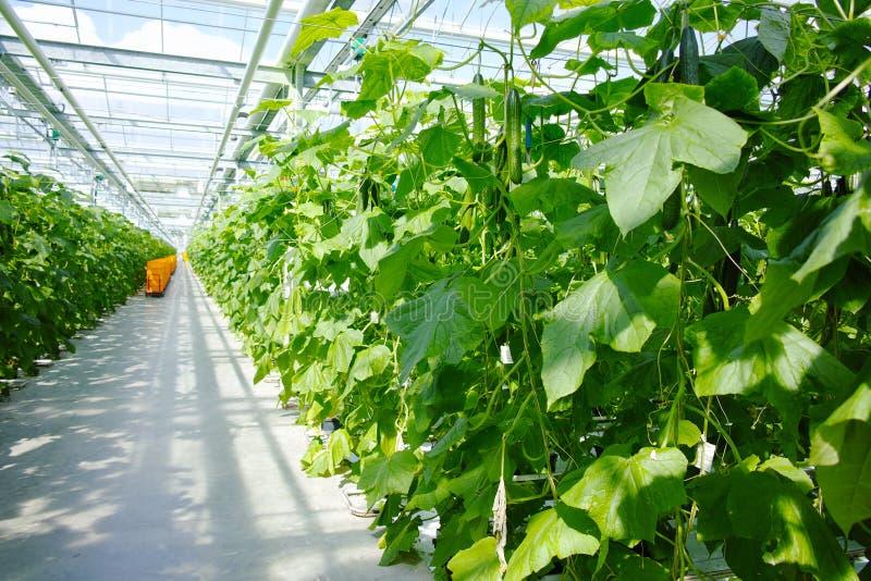 Νόστιμη οργανική πράσινη αύξηση αγγουριών του μεγάλου ολλανδικού θερμοκηπίου, ev στοκ φωτογραφία με δικαίωμα ελεύθερης χρήσης