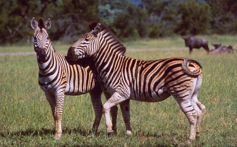 Νότια Αφρική: Δύο Zebras στην αγριότητα της άγριας φύσης Hluhluwe στοκ φωτογραφίες