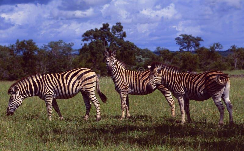 Νότια Αφρική: Τρία zebras στην αγριότητα του παιχνιδιού Shamwari σχετικά με στοκ εικόνες