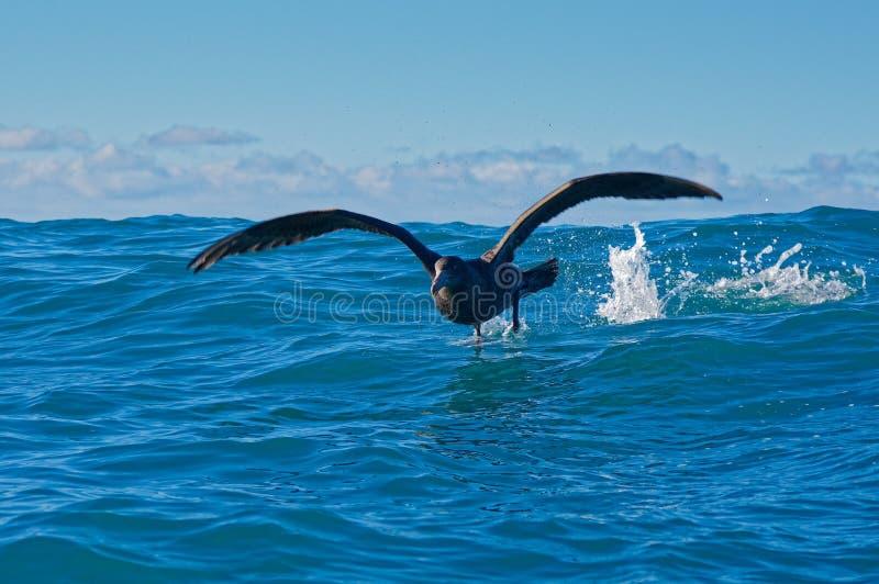 Νότια γιγαντιαία προκελλαρία που απογειώνεται, Kaikoura, Νέα Ζηλανδία στοκ φωτογραφία με δικαίωμα ελεύθερης χρήσης
