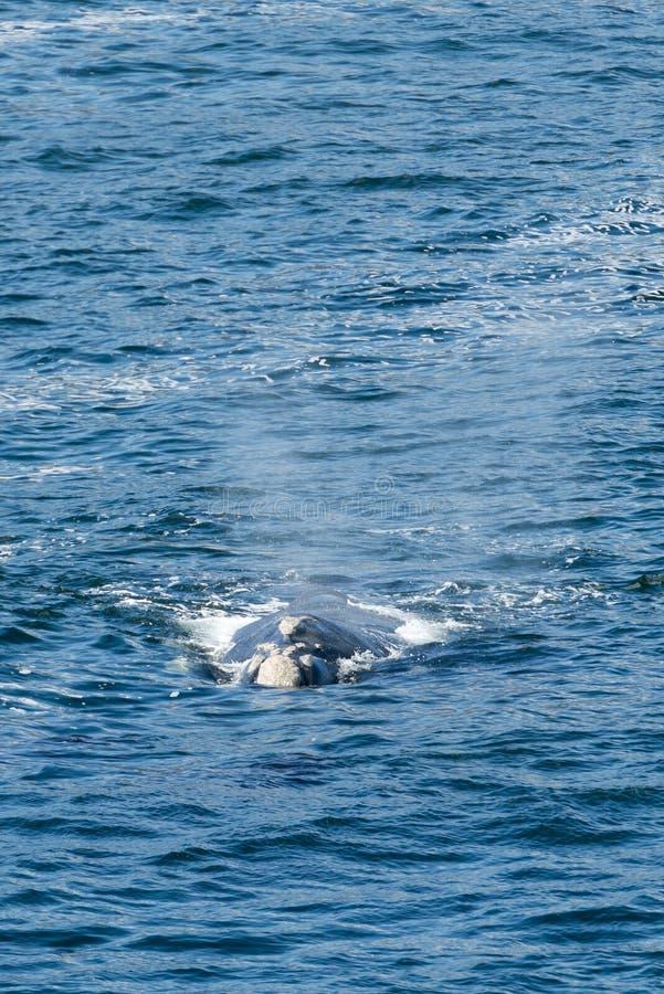 Νότιες σωστές επιφάνειες φαλαινών στοκ εικόνα