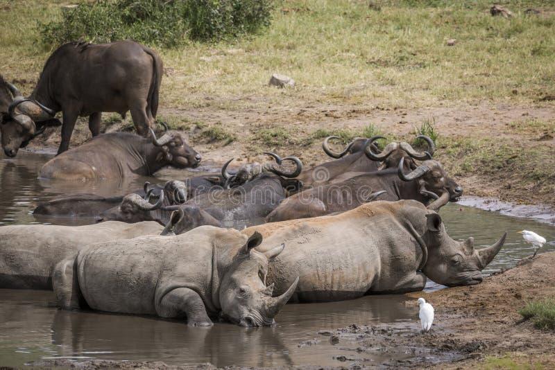 Νότιος άσπρος ρινόκερος στο εθνικό πάρκο Kruger, Νότια Αφρική στοκ φωτογραφία με δικαίωμα ελεύθερης χρήσης