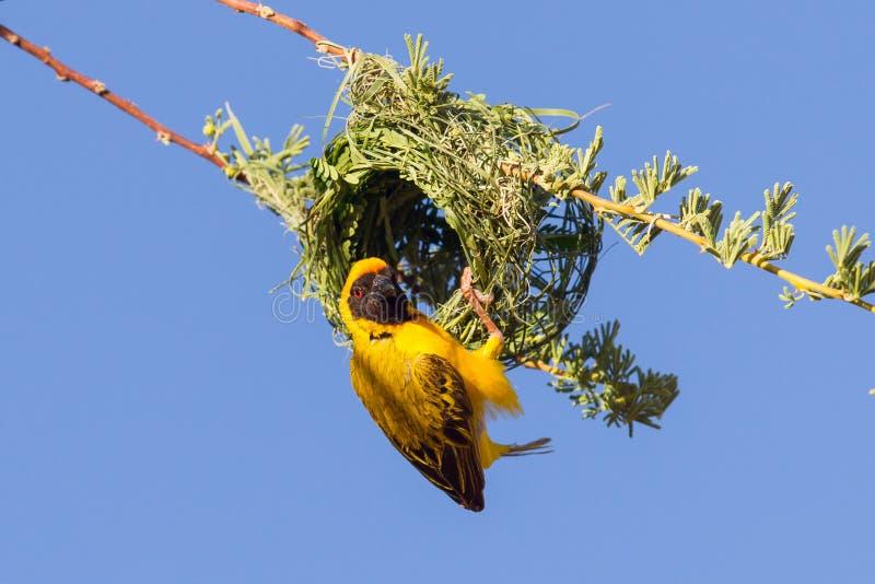 Νότιος κίτρινος καλυμμένος υφαντής στοκ εικόνα με δικαίωμα ελεύθερης χρήσης