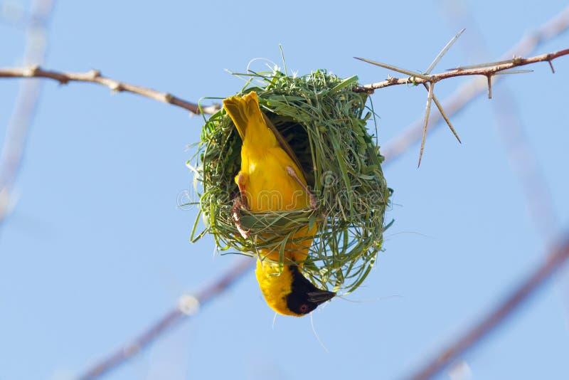Νότιος κίτρινος καλυμμένος υφαντής στοκ φωτογραφία με δικαίωμα ελεύθερης χρήσης
