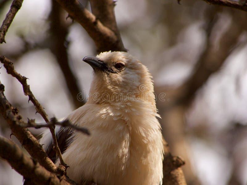 Νότιος παρδαλός φλύαρος στοκ φωτογραφίες με δικαίωμα ελεύθερης χρήσης