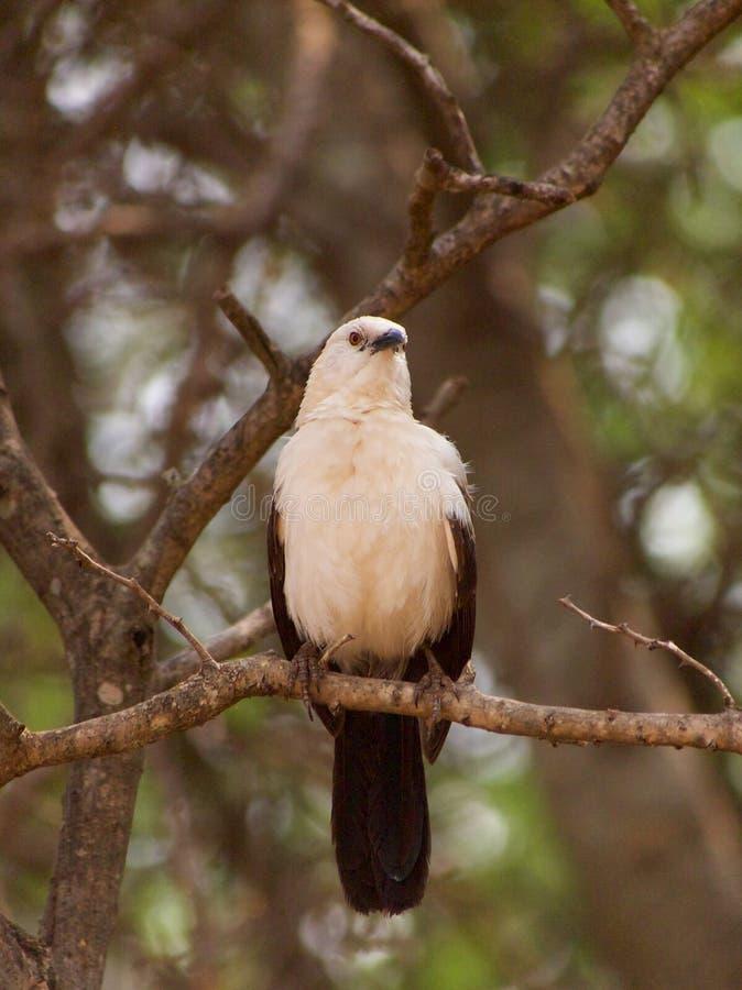 Νότιος παρδαλός φλύαρος στοκ εικόνα