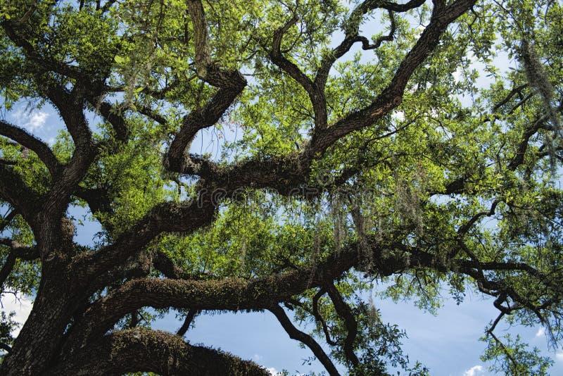 Νότιο ζωντανό δρύινο δέντρο της Γεωργίας σαβανών στοκ φωτογραφία