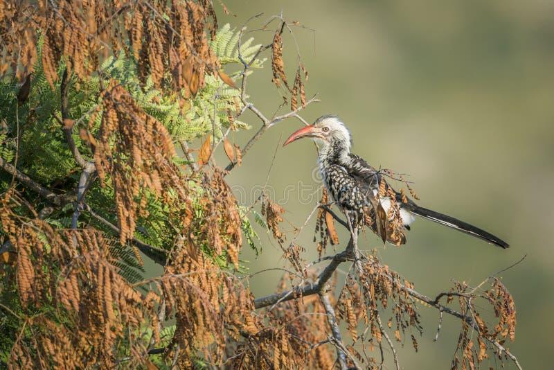 Νότιο κόκκινο τιμολογημένο Hornbill στο εθνικό πάρκο Kruger, Νότια Αφρική στοκ φωτογραφία