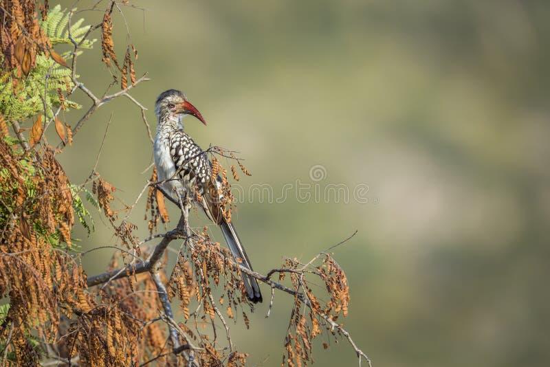 Νότιο κόκκινο τιμολογημένο Hornbill στο εθνικό πάρκο Kruger, Νότια Αφρική στοκ εικόνες