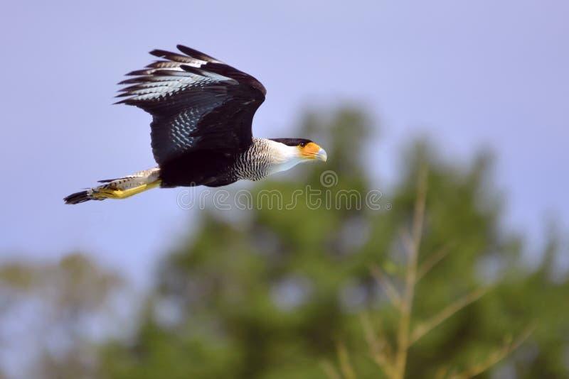 Νότιο λοφιοφόρο Caracara κατά την πτήση στοκ εικόνες