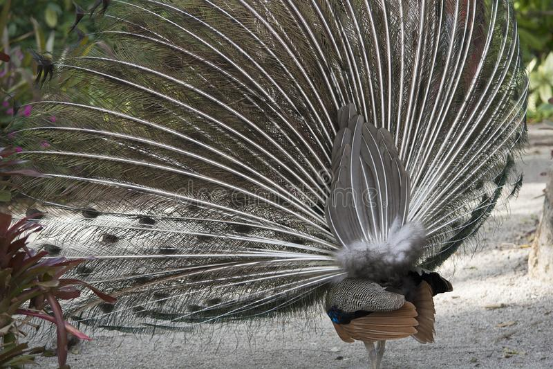 Νότιο τέλος ενός κατευθυνόμενου βόρεια Peacock που επιδεικνύει σε έναν κήπο της Φλώριδας στοκ εικόνες