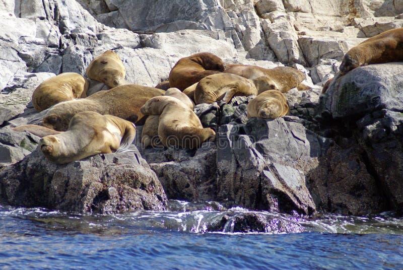 Νότος - αμερικανική αποικία λιονταριών θάλασσας κοντά σε Ushuaia, Αργεντινή στοκ εικόνα με δικαίωμα ελεύθερης χρήσης