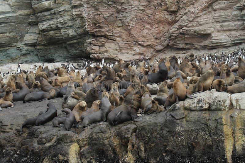 Νότος - αμερικανική αποικία λιονταριών θάλασσας στοκ εικόνες με δικαίωμα ελεύθερης χρήσης