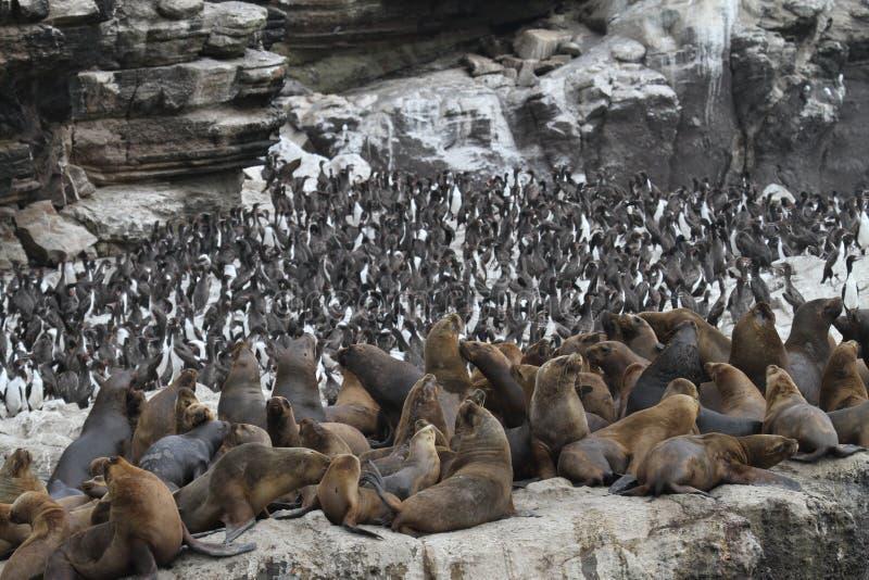 Νότος - αμερικανικοί λιοντάρια θάλασσας και κορμοράνοι Guanay στοκ εικόνες με δικαίωμα ελεύθερης χρήσης