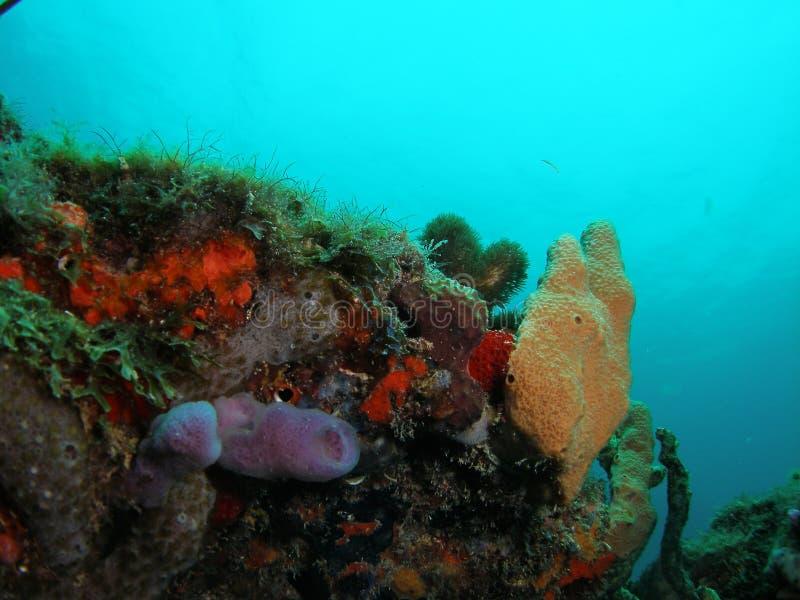 νότος σκοπέλων της Φλώριδας κοραλλιών στοκ εικόνες
