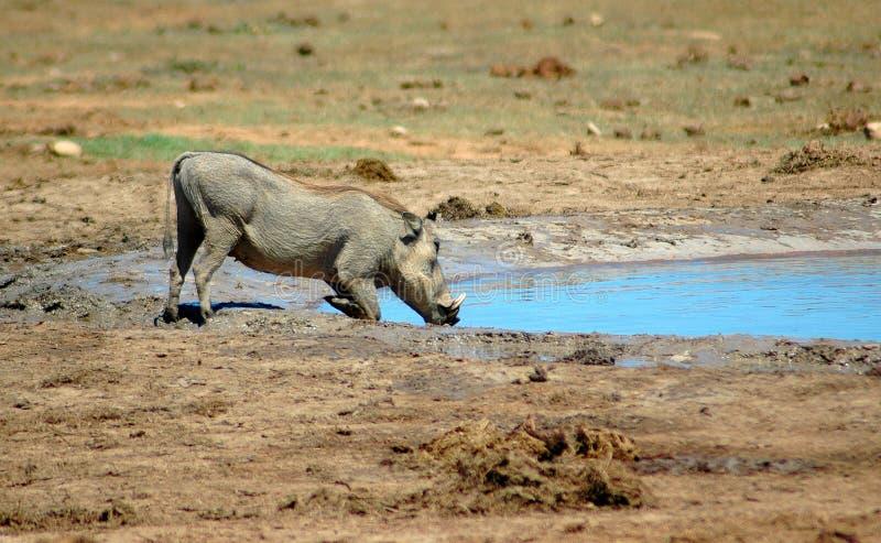 νότος της Αφρικής warthog στοκ εικόνες