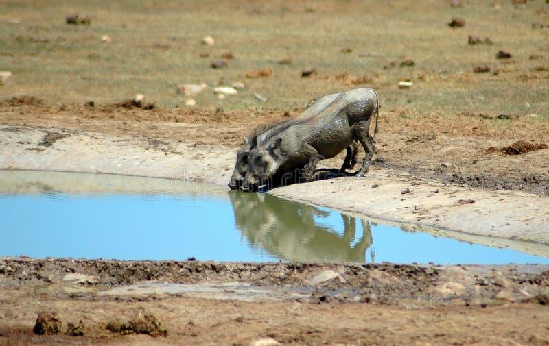 νότος της Αφρικής warthogs στοκ φωτογραφίες