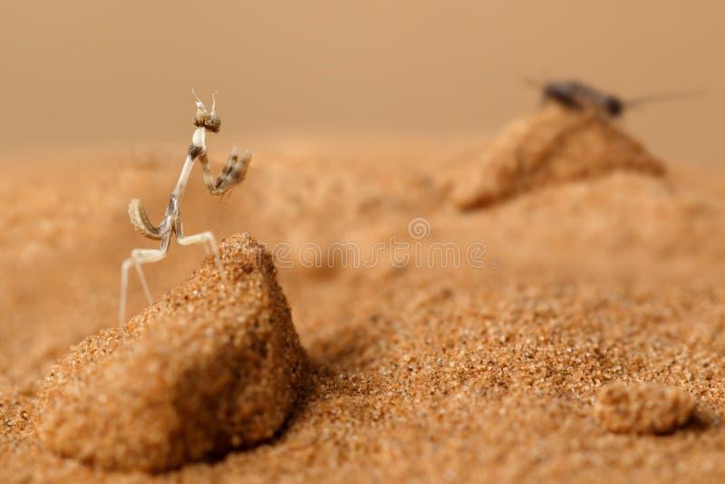 Νύμφη κινηματογραφήσεων σε πρώτο πλάνο των κυνηγιών Empusa στην άμμο στην έρημο στην ηλιόλουστη ημέρα στοκ εικόνα με δικαίωμα ελεύθερης χρήσης