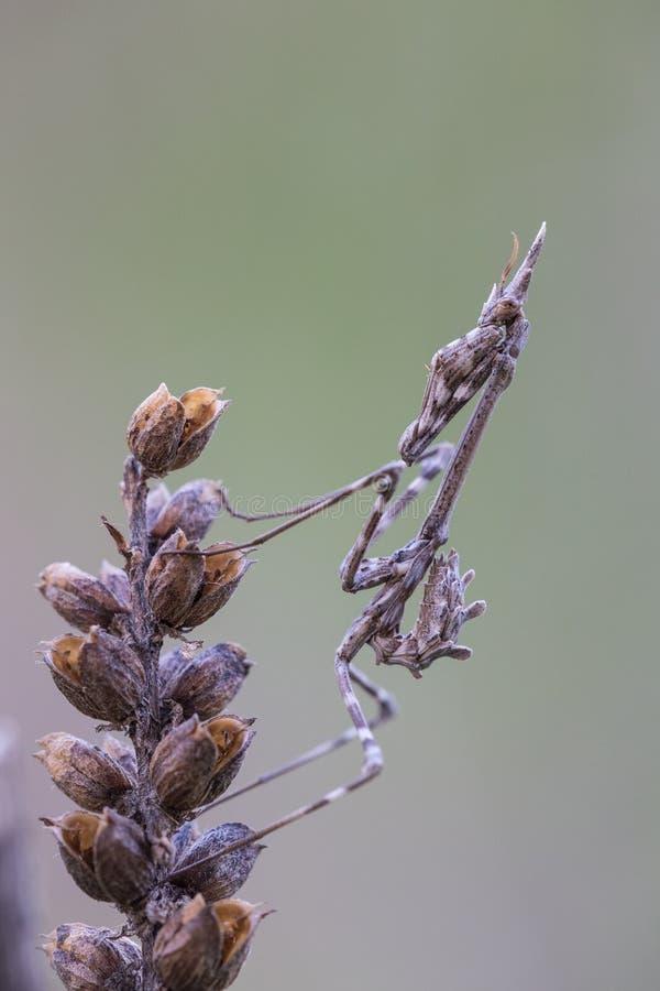 Νύμφη pennata Empusa στοκ εικόνες