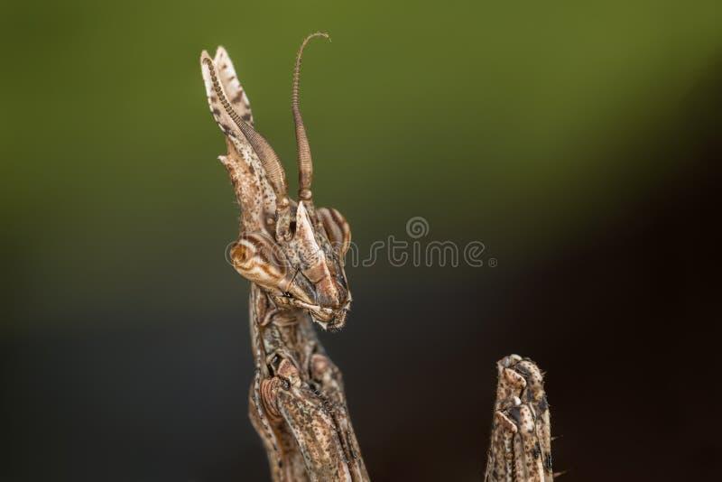 Νύμφη pennata Empusa στοκ φωτογραφία με δικαίωμα ελεύθερης χρήσης