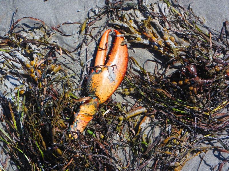 Νύχι αστακών στην παραλία με το φύκι στοκ φωτογραφία με δικαίωμα ελεύθερης χρήσης