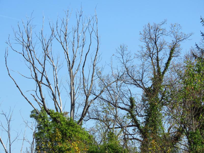 Ξένα φύλλα δέντρου διακλαδωμένα από τον γαλάζιο ουρανό Γυμνά δέντρα καλυμμένα με πράσινο κισσό και κόκκινο Virginia Creeper στοκ φωτογραφίες