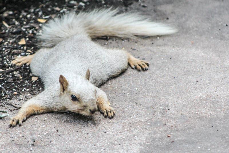 Ξανθός σκίουρος που βρίσκεται οριζόντια στο έδαφος στοκ φωτογραφίες με δικαίωμα ελεύθερης χρήσης