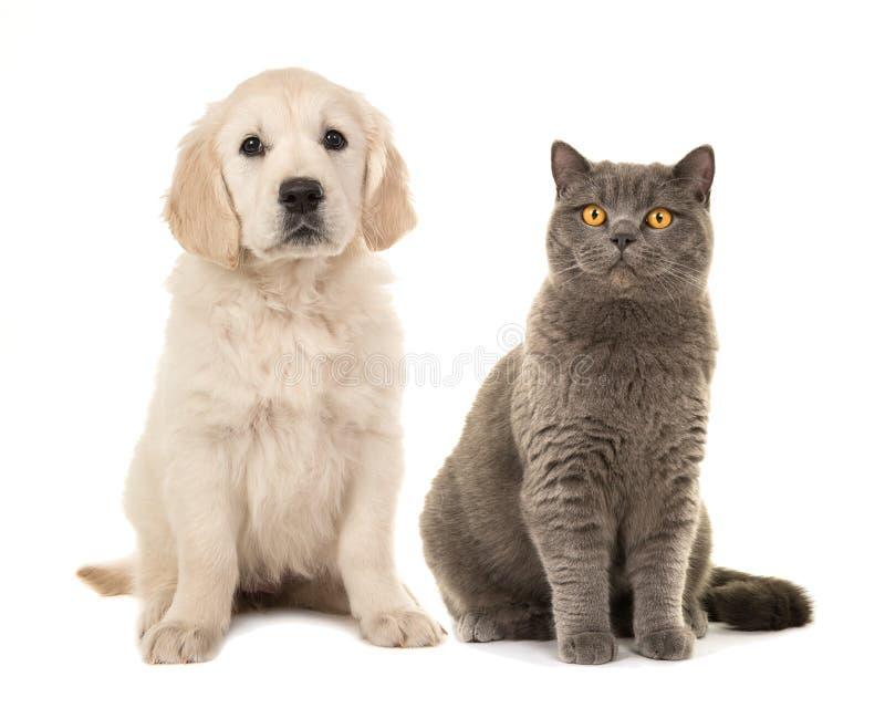 Ξανθό χρυσό retriever σκυλί κουταβιών και γκρίζα βρετανική κοντή γάτα τρίχας στοκ εικόνα