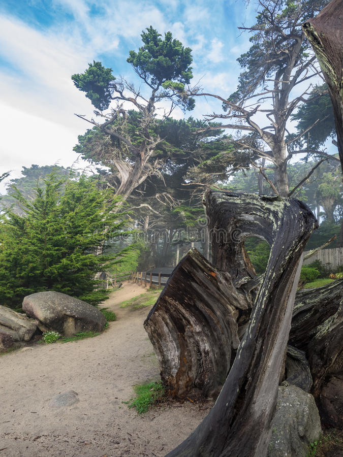 Ξεπερασμένα δέντρα κυπαρισσιών Monterey στην ακτή στοκ εικόνες