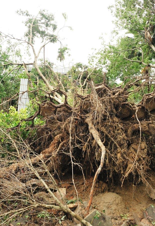 Ξεριζωμένο δέντρο από τον τυφώνα στοκ εικόνες