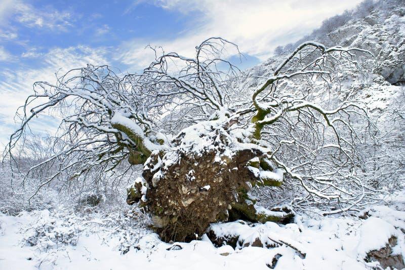 Ξεριζώστε το δέντρο στο χιόνι στοκ εικόνα