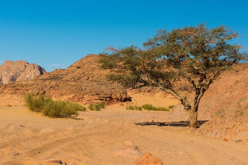 Ξηρά έρημος και δέντρο sinai Αίγυπτος στοκ φωτογραφία