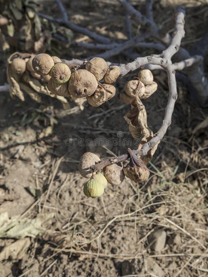 Ξηρά και overripe φρούτα σύκων στο δέντρο στον κήπο στοκ εικόνες με δικαίωμα ελεύθερης χρήσης