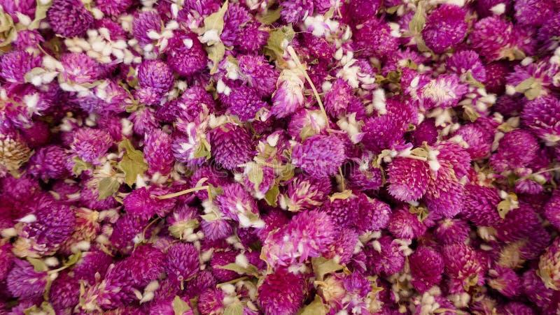 Ξηρά λουλούδια αμάραντων, globular αμάραντος, κινηματογράφηση σε πρώτο πλάνο στοκ εικόνες με δικαίωμα ελεύθερης χρήσης