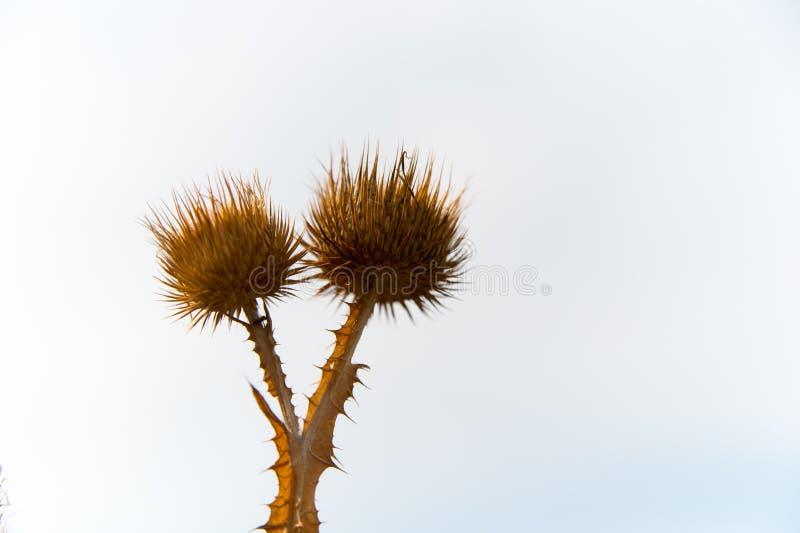 Ξηρά λουλούδια των εγκαταστάσεων σπονδυλικών στηλών στο άσπρο υπόβαθρο ουρανού Άγριες εγκαταστάσεις αγκαθιών υπαίθριες Χλωρίδα κα στοκ φωτογραφία με δικαίωμα ελεύθερης χρήσης
