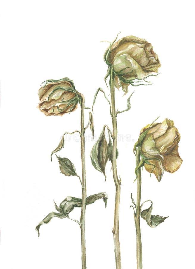 Ξηρά τριαντάφυλλα Watercolor στοκ εικόνες