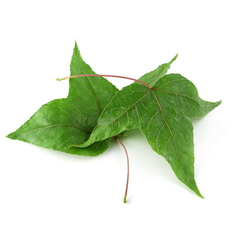 Ξηρά φύλλα σφενδάμου που απομονώνονται πέρα από το άσπρο υπόβαθρο στοκ φωτογραφία με δικαίωμα ελεύθερης χρήσης