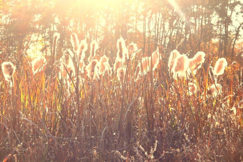 Ξηρά χλόη καλάμων στο ηλιοβασίλεμα στοκ εικόνες