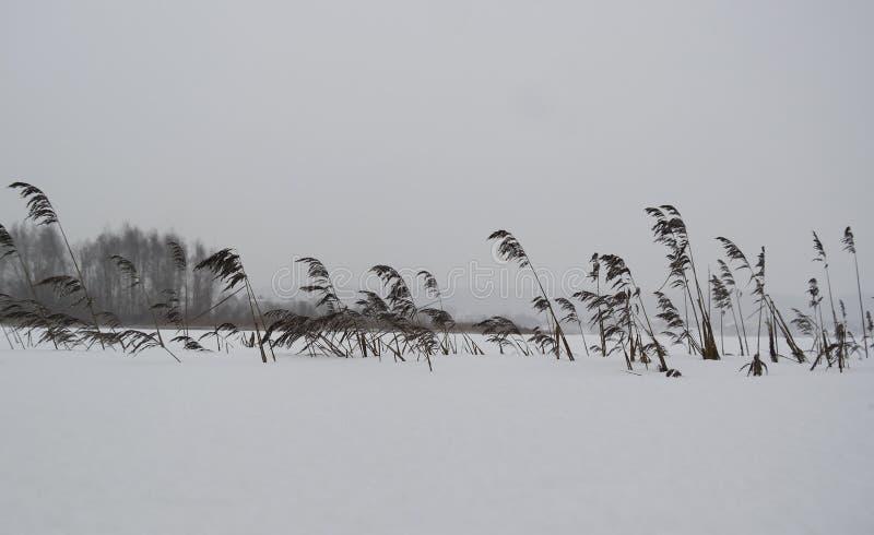 Ξηρά cattails που καλύπτονται με το δάσος δέντρων χιονιού και έλατου στην άλλη ακτή μιας παγωμένης λίμνης στοκ φωτογραφία με δικαίωμα ελεύθερης χρήσης