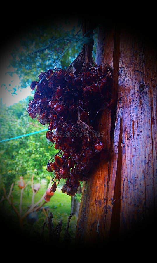 ξηρά rosehips στοκ εικόνα